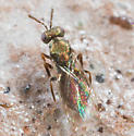 Small Golden Metallic Fly