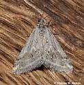 Moth - Lithostege