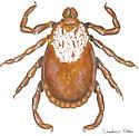 Dermacentor variabilis - female - Dermacentor variabilis - female