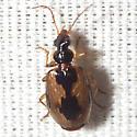 Colorful Foliage Ground Beetle  - Lebia fuscata