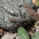 Shield-backed Katydid? - Aglaothorax - female