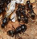 Carpenter ants and possibly mites - Camponotus - female
