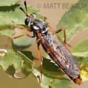 Unknown Fly - Nemomydas pantherinus - female
