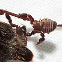 Pseudoscorpion