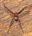 Spider - Gea heptagon