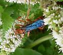 Wasp species - Tachypompilus ferrugineus