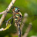 Dragon Fly - Somatochlora walshii - male
