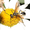 Thread waisted Wasp - Isodontia mexicana
