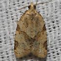 Moth unknown - Clepsis peritana