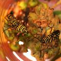 Locust Borer - Megacyllene robiniae