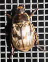 July scarab - Exomala orientalis