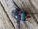 What kind of big fly is this - Tabanus americanus - female