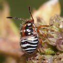 colorful true bug nymph - Thyanta custator