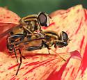 WI100612 - 2b - Helophilus fasciatus - male - female