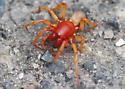 Pill Bug Hunter - Dysdera crocata