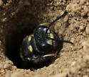 wasp - Cerceris fumipennis