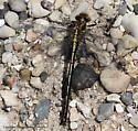 Dragonfly - Phanogomphus spicatus