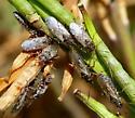 True bug - Nysius