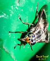 Deer Fly - Chrysops callidus