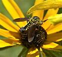 Mini gold clearwing? - Lepidophora lutea