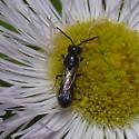 Unidentified bee - Chelostoma philadelphi - male