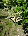 Western tiger swallowtail - Papilio rutulus - Papilio rutulus