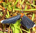 arctiid moth - Melanchroia chephise