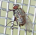 Muscidae (House Flies and kin)