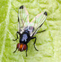 Small fly with dark wingtips - Seioptera vibrans