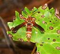 Grape Root Borer Moth? - Vitacea polistiformis