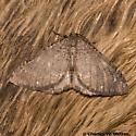 Geometrid - Monostoecha semipectinata - male
