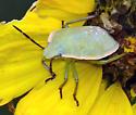 stink bug - Chlorochroa