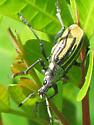 Weevil - Diaprepes abbreviatus