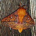 could use help identifying this gorgeous orange moth. - Anisota stigma