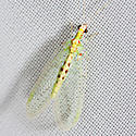 Green Lacewing - Chrysopa quadripunctata