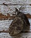 Tiny Brown Moth - Fulgoraecia exigua