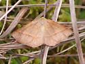 Bog moth - Metarranthis obfirmaria
