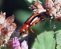Blister Beetle Nemognatha ? - Nemognatha