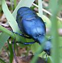 Oil Beetles - Meloe impressus? - Meloe impressus