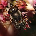 Syrphidae, head - Eristalis dimidiata