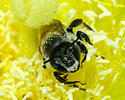 Bee in prickly pear cactus flower - Lithurgopsis gibbosa - male