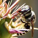 small bee on cholla cactus - Megachile - female