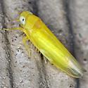Leafhopper - Alebra aurea