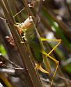 Green Cricket? - Orchelimum agile - female