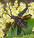 California Elderberry Borer - Desmocerus californicus - male