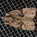 Black-banded Brocade? - Oligia modica