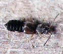 Little Rove Beetle - Carpelimus