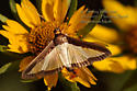 Melonworm Moth - Hodges #5204 - Diaphania hyalinata