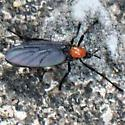 Black and Orange March Fly - Lateral - Plecia - female