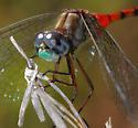 Blue-faced Meadowhawk - Sympetrum ambiguum - male